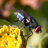 Green Bottle Fly Phaenicia Sericata1